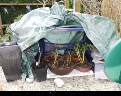 berwintern von bonsai bonsaifreunde eckental e v. Black Bedroom Furniture Sets. Home Design Ideas